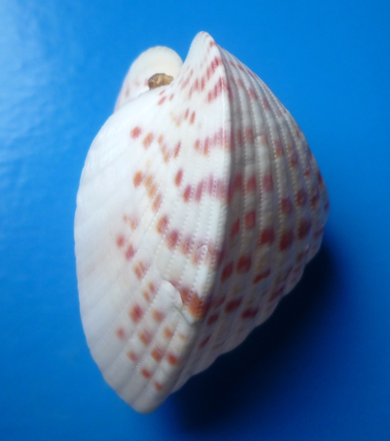 Lunulicardia retusa - (Linnaeus, 1767)  Retusa17
