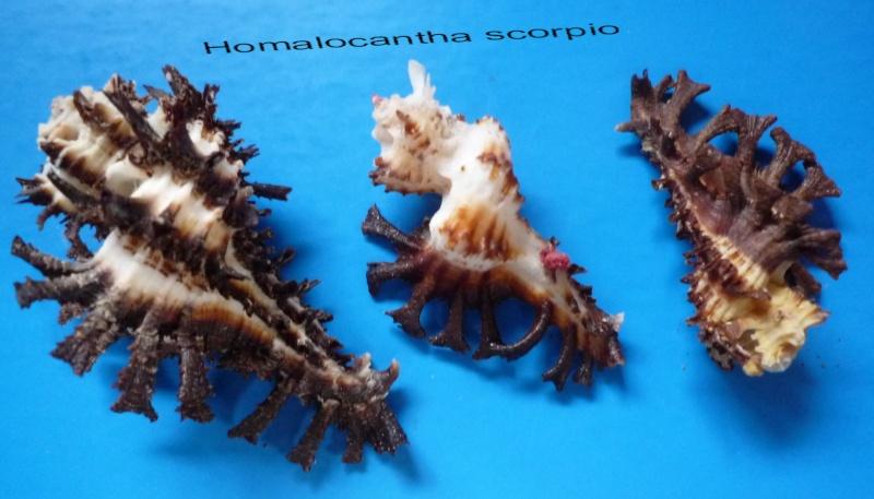 Homalocantha scorpio - (Linnaeus, 1758) Scorpi10