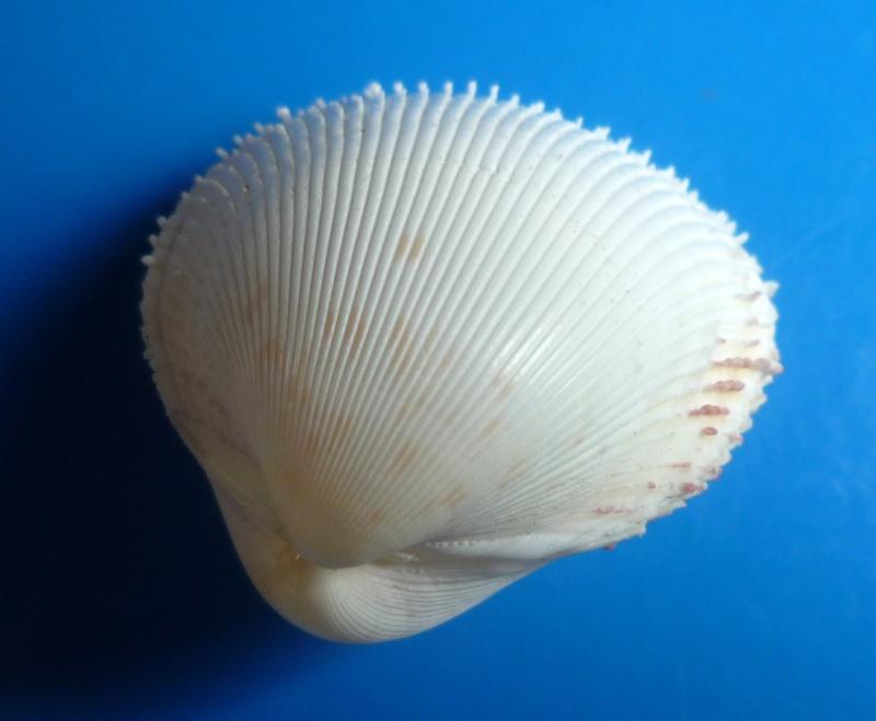 Europicardium serrulatum - (Deshayes, 1855)  Serrul10