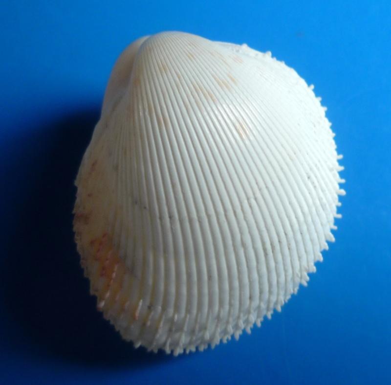 Europicardium serrulatum - (Deshayes, 1855)  Serrul11