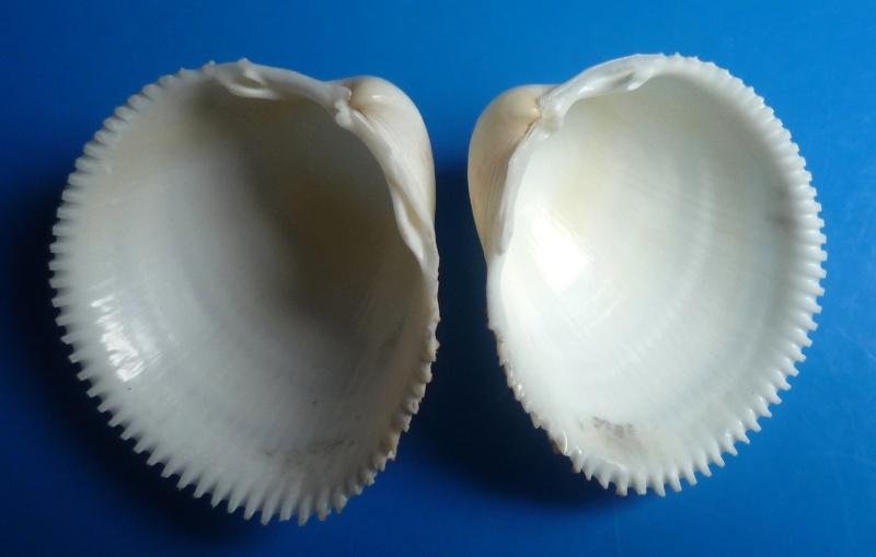 Europicardium serrulatum - (Deshayes, 1855)  Serrul12