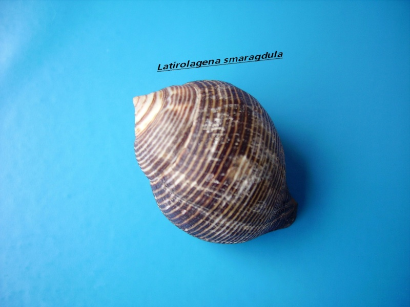 Latirolagena smaragdulus - (Linnaeus, 1758) Smarag10