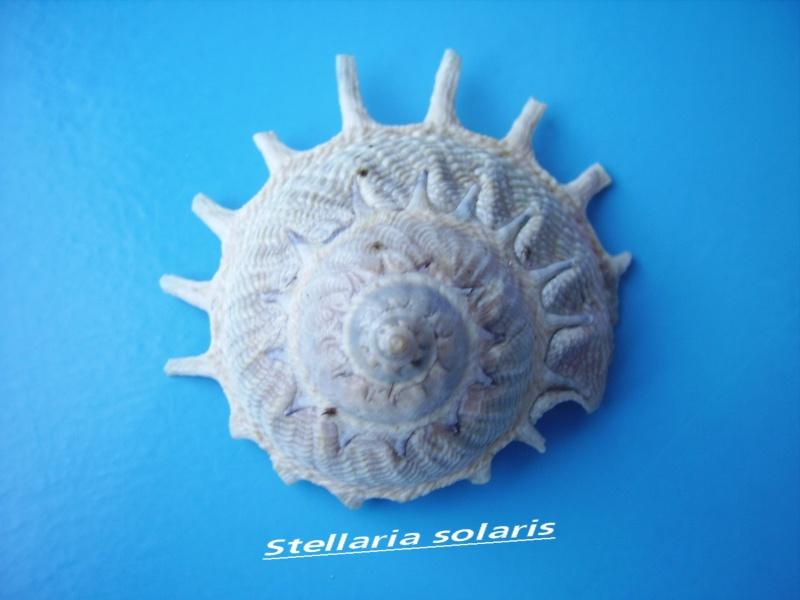 Stellaria solaris - (Linnaeus, 1764) Solari10