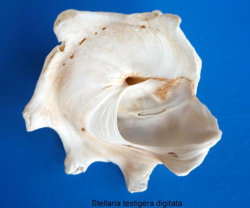 Stellaria testigera digitata - (Martens, 1878) Stella11