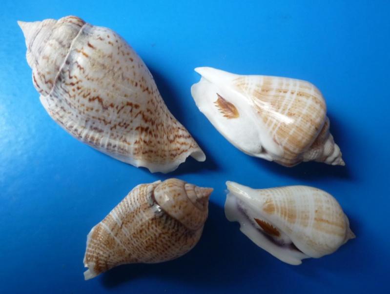 Gibberulus gibberulus gibberulus - (Linnaeus, 1758)  Stromb11