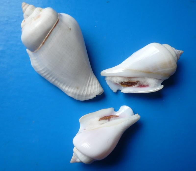 Gibberulus gibberulus albus - (Mörch, 1850)  Stromb15