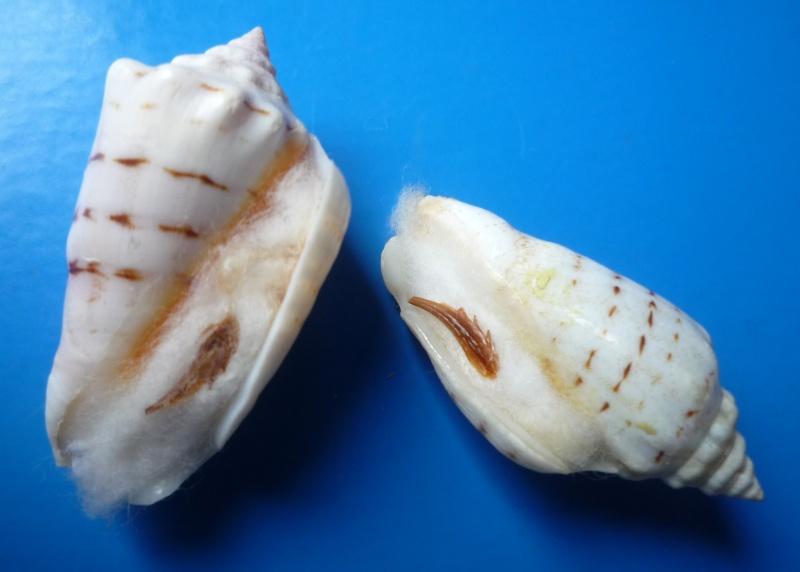 Conomurex fasciatus - (Born, 1778)  Stromb17