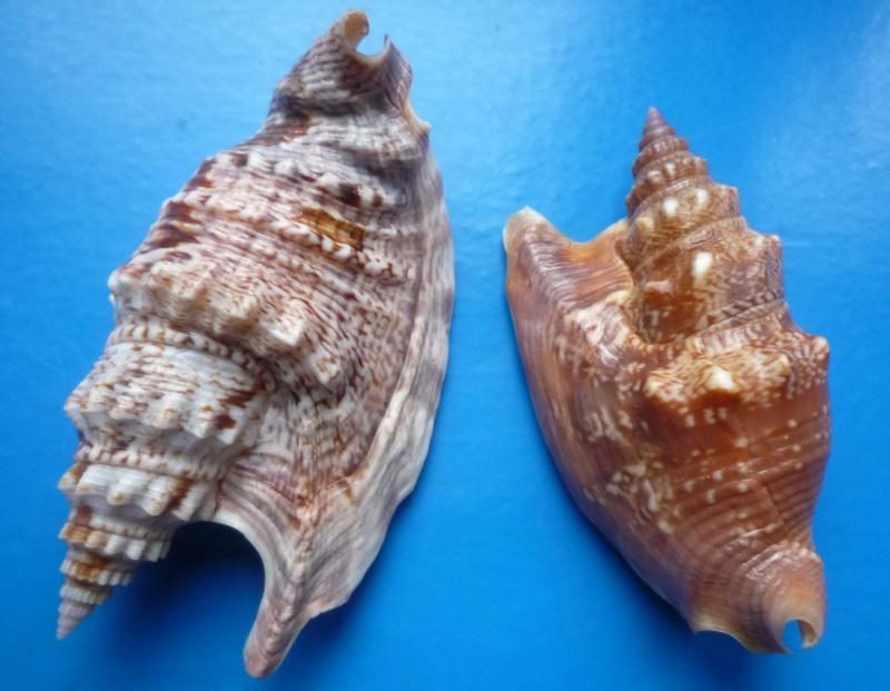 Euprotomus iredalei - (Abbott, 1960)  Stromb24