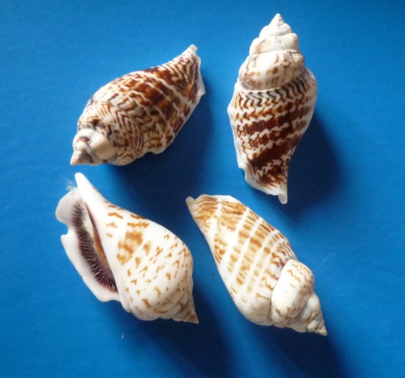 Gibberulus gibberulus gibbosus - (Röding, 1798) Stromb33