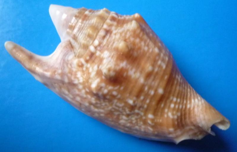 Euprotomus bulla - (Röding, 1798) Stromb34