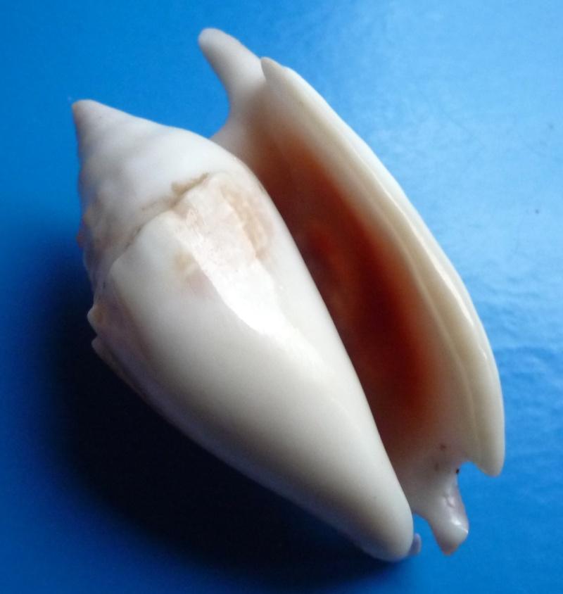 Euprotomus bulla - (Röding, 1798) Stromb37