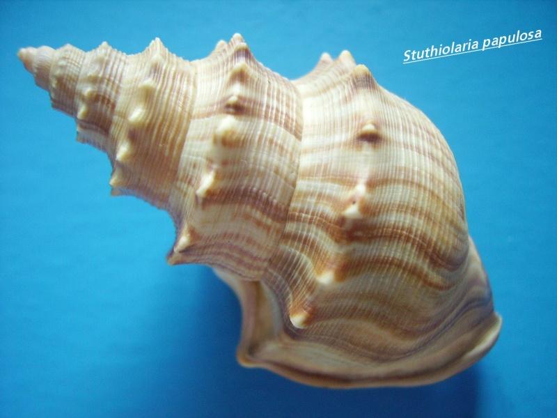 Struthiolariidae - Struthiolaria papulosa - (Martyn, 1784) Struth11