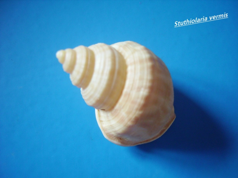 Struthiolariidae - Struthiolaria papulosa - (Martyn, 1784) Struth12