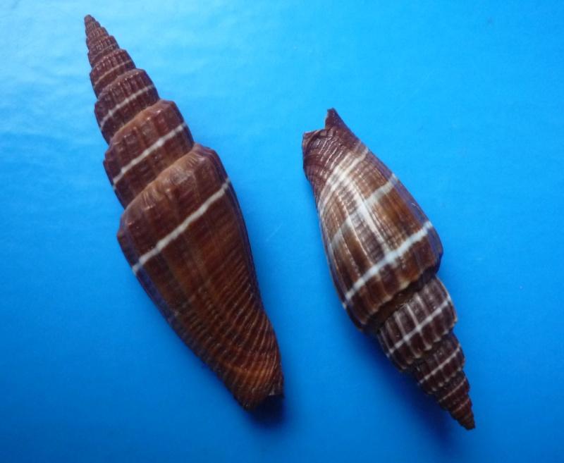 Vexillum subdivisum - (Gmelin, 1791) Subdiv10
