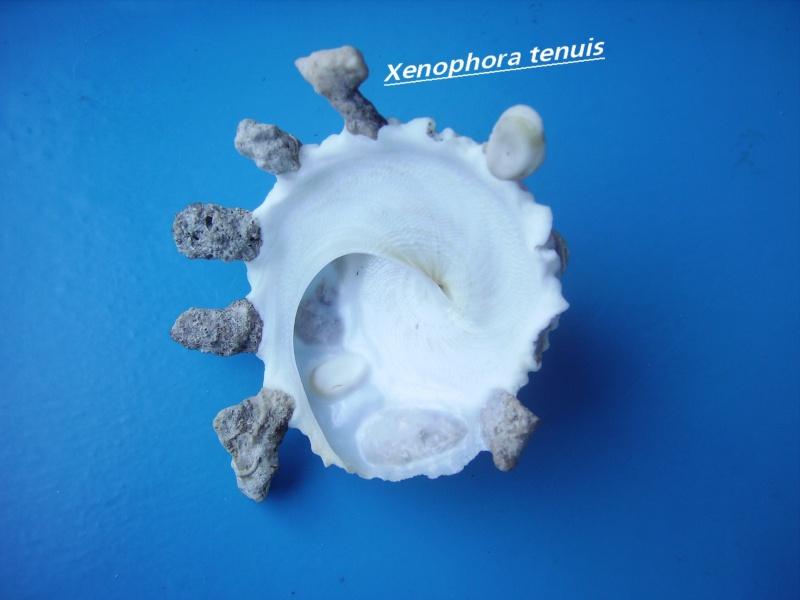 Xenophora tenuis - Fulton, 1938 Tanuis11