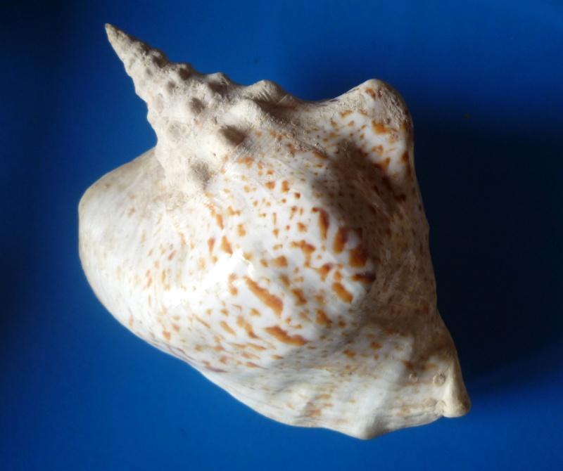 Strombidae Thersistrombus thersites - (Swainson, 1823) Tricor19