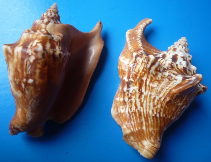 Strombidae Tricornis tricornis - ([Lightfoot], 1786) Tricor26