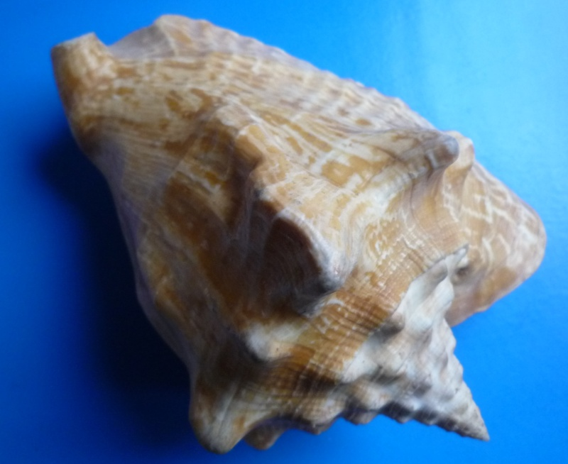 Strombidae Macrostrombus costatus - (Gmelin, 1791) Tricor54