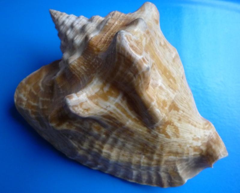 Strombidae Macrostrombus costatus - (Gmelin, 1791) Tricor55