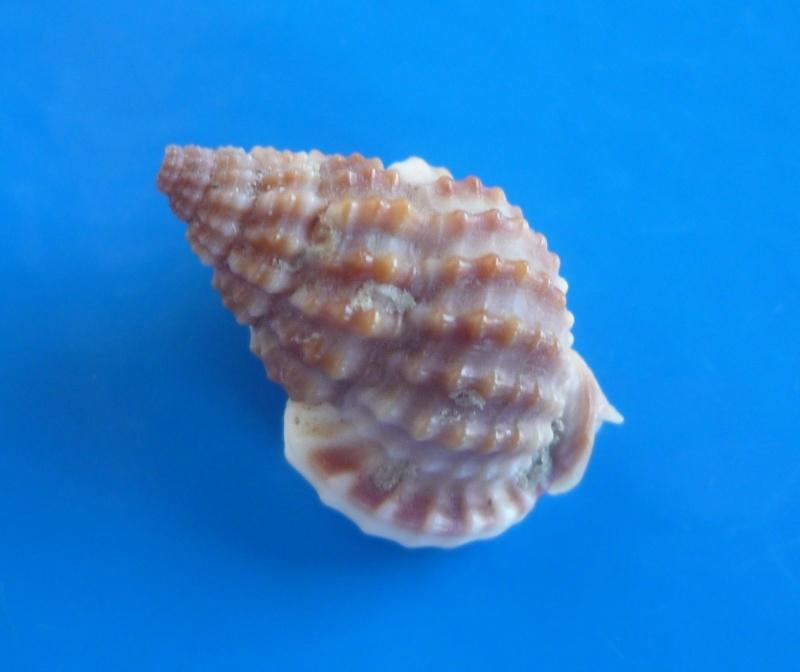 Nassarius tritoniformis - (Kiener, 1841) Triton12
