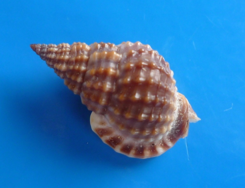 Nassarius tritoniformis - (Kiener, 1841) Triton13