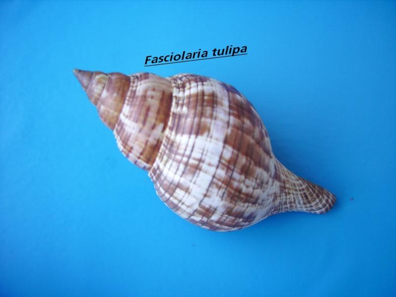 Fasciolaria tulipa - (Linnaeus, 1758) Tulipa10