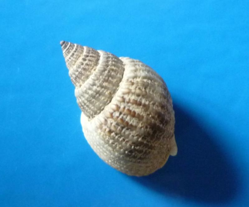 Nassarius venustus - (Dunker, 1847) Venust14