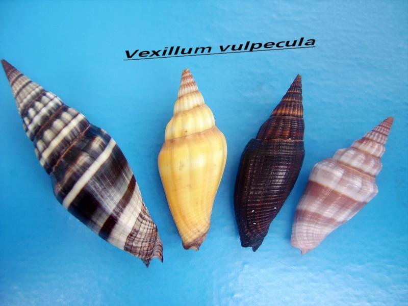 Vexillum vulpecula - (Linnaeus, 1758) Vulpac11
