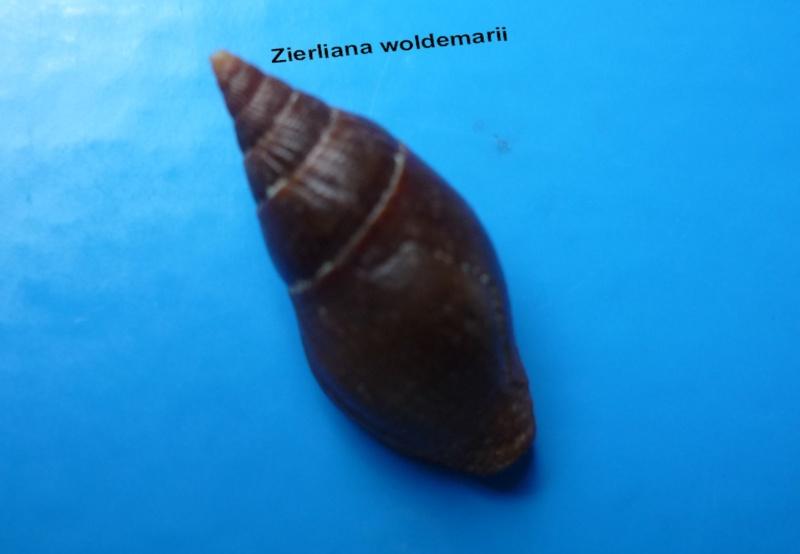 Vexillum woldemarii - (Kiener, 1838) Woldem11