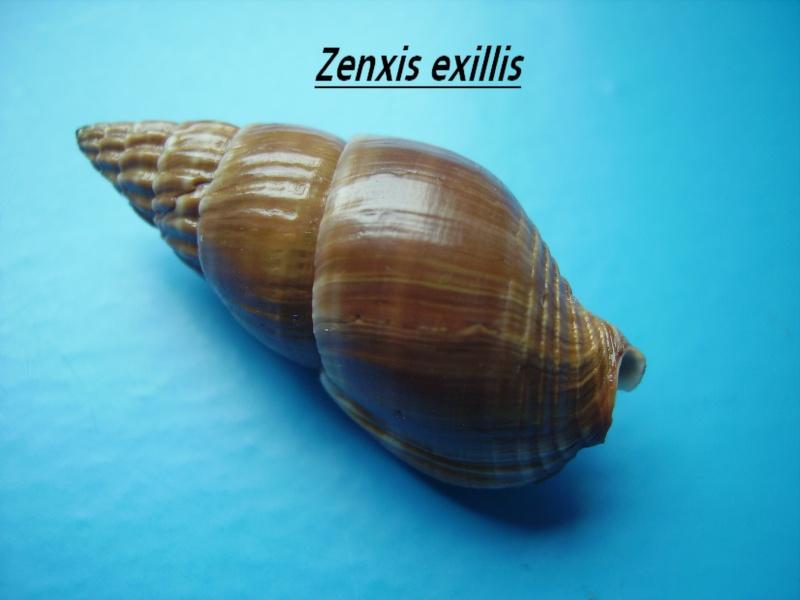 Nassarius olivaceus - (Bruguière, 1789) Zenxis10
