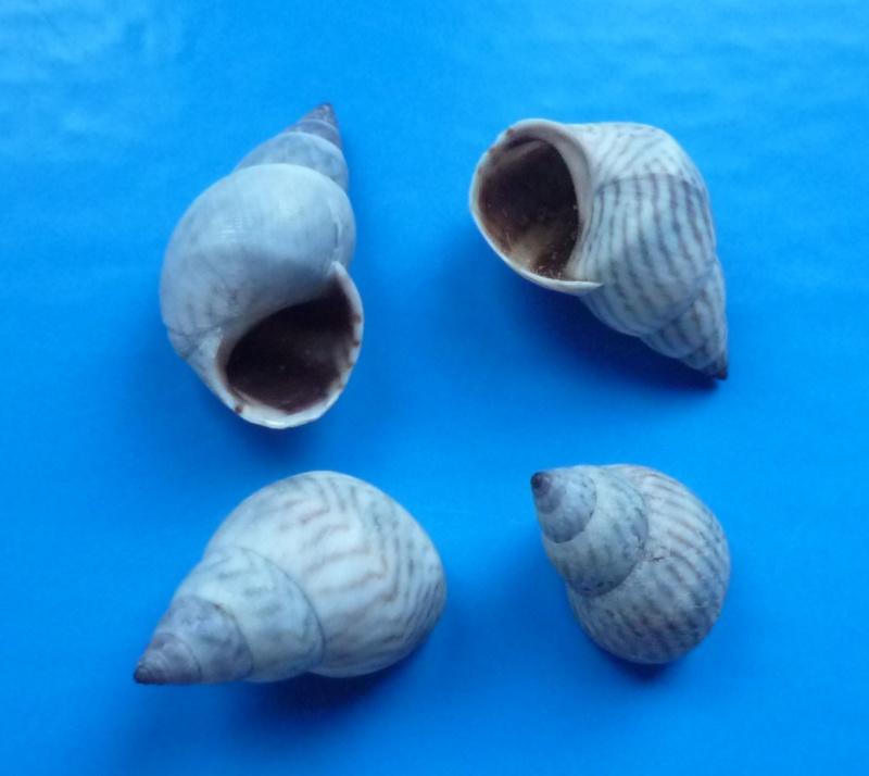 Echinolittorina ziczac - (Gmelin, 1791) Ziczac10