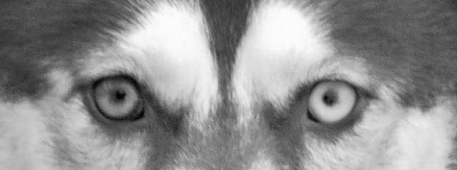 Calypso, un passé malheureux et un présent douloureux... Husky-11