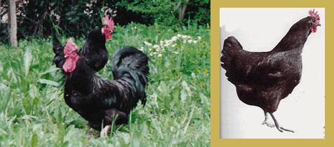L'Aquitaine, poule quasiment disparue Aquita10