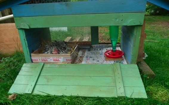 poules - mes 2 poules sussex tricolores ont couvé Image_11