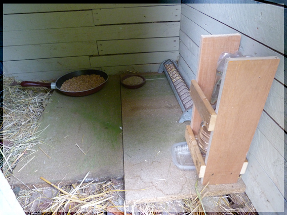 poules - mes 2 poules sussex tricolores ont couvé Prince12