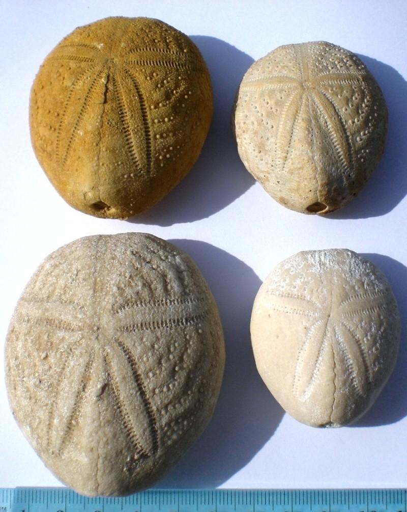 USA -Echinodermes- Cimg1424