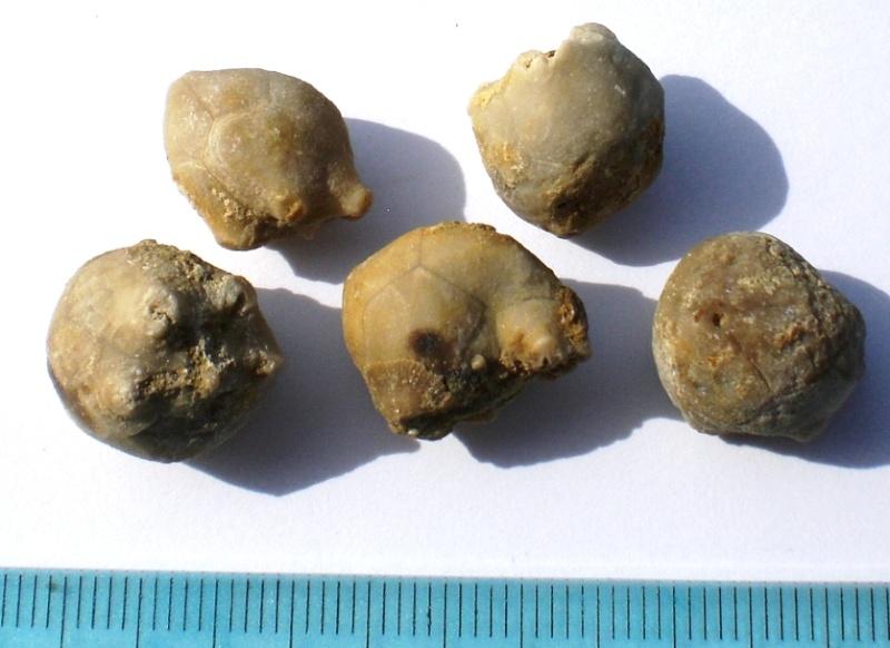 USA -Echinodermes- Cimg1510