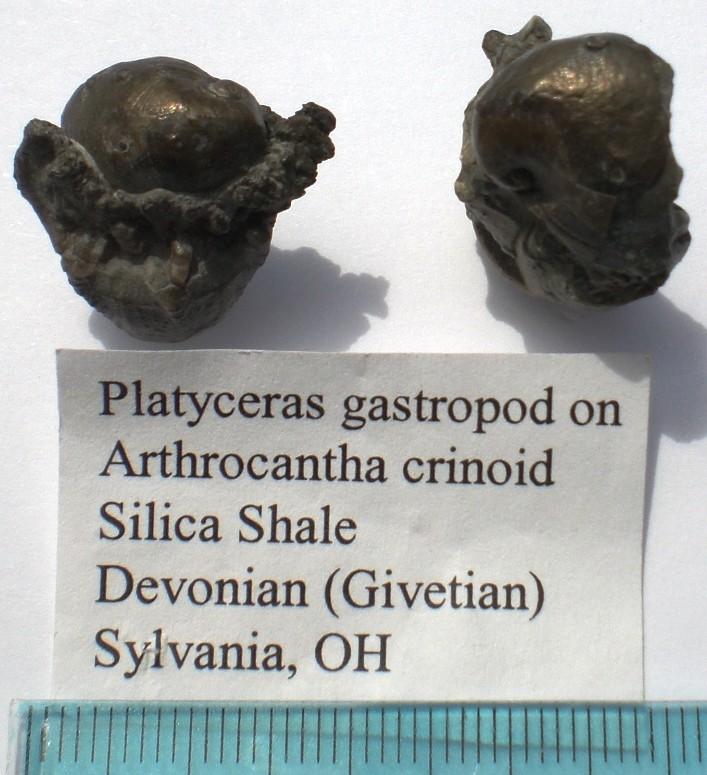 USA -Echinodermes- Cimg1513