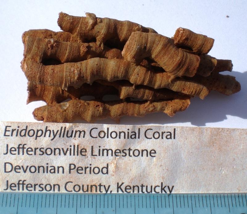 USA-coraux et bryozoaires- Cimg1711