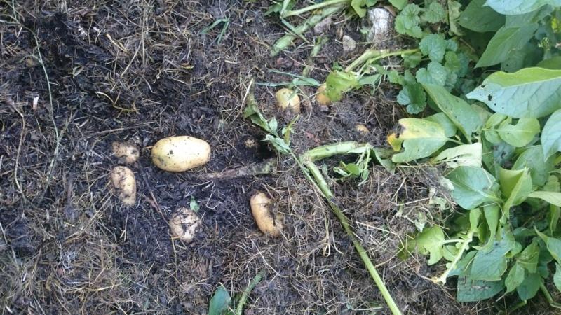 Pommes de terre sur Gazon 2018-013