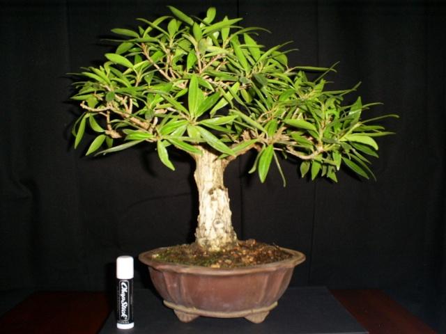 New ficus (new pot?) Ficus_10