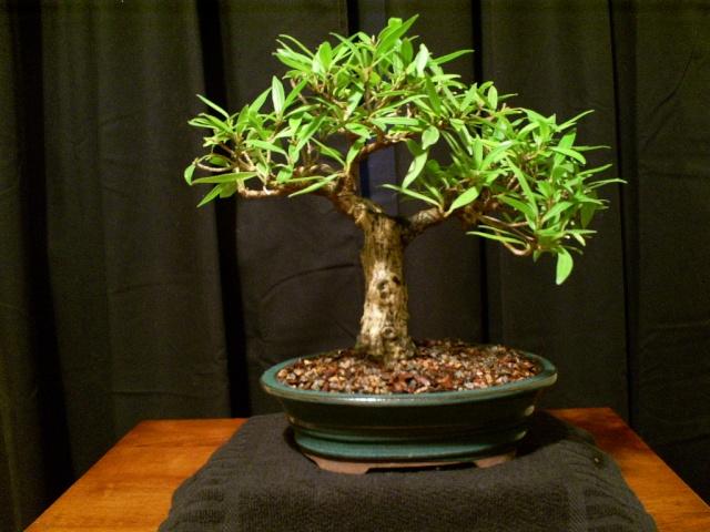 New ficus (new pot?) Ficus_11