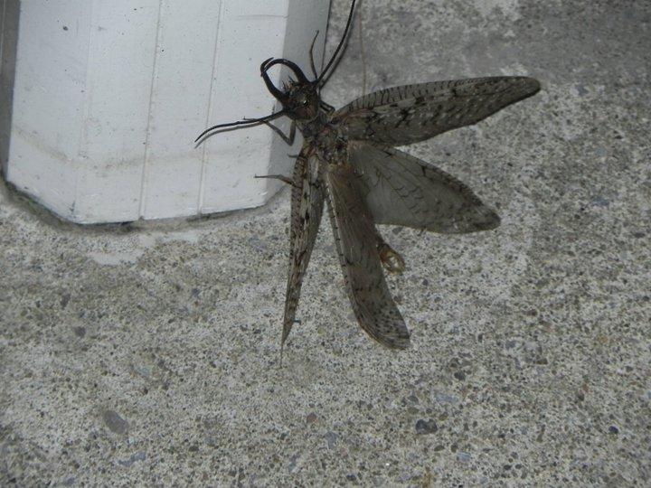 Aide pour identifier un insecte svp Myster17
