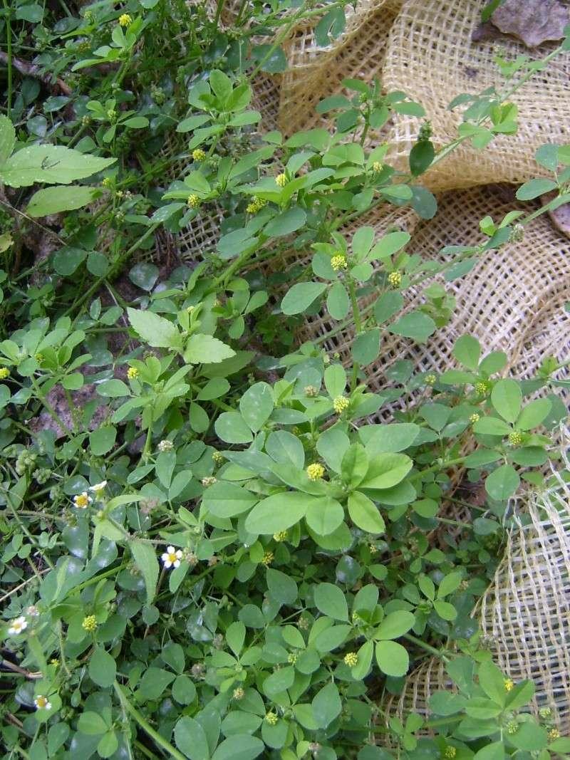 Oxalis corniculé /Oxalis corniculata + Minette lupuline /Medicago lupulina 12100018
