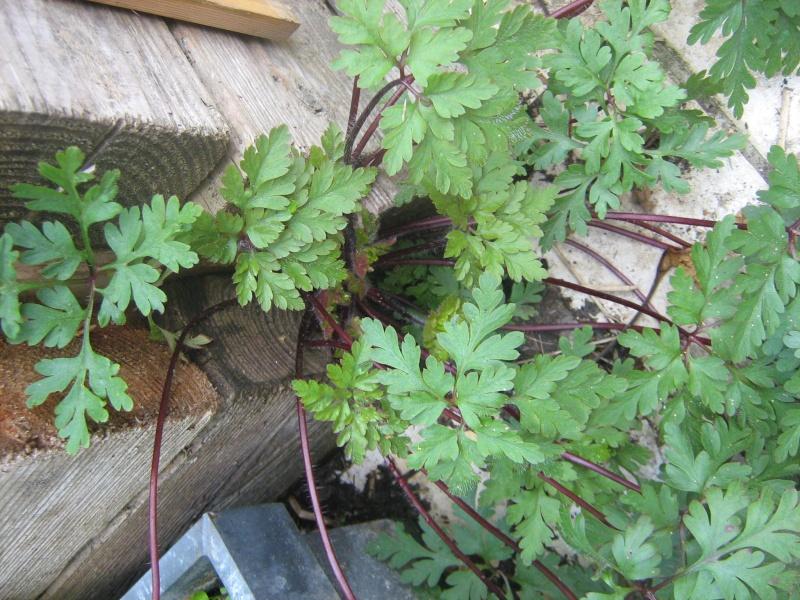 Géranium herbe à Robert / Geranium robertianum Img_1913