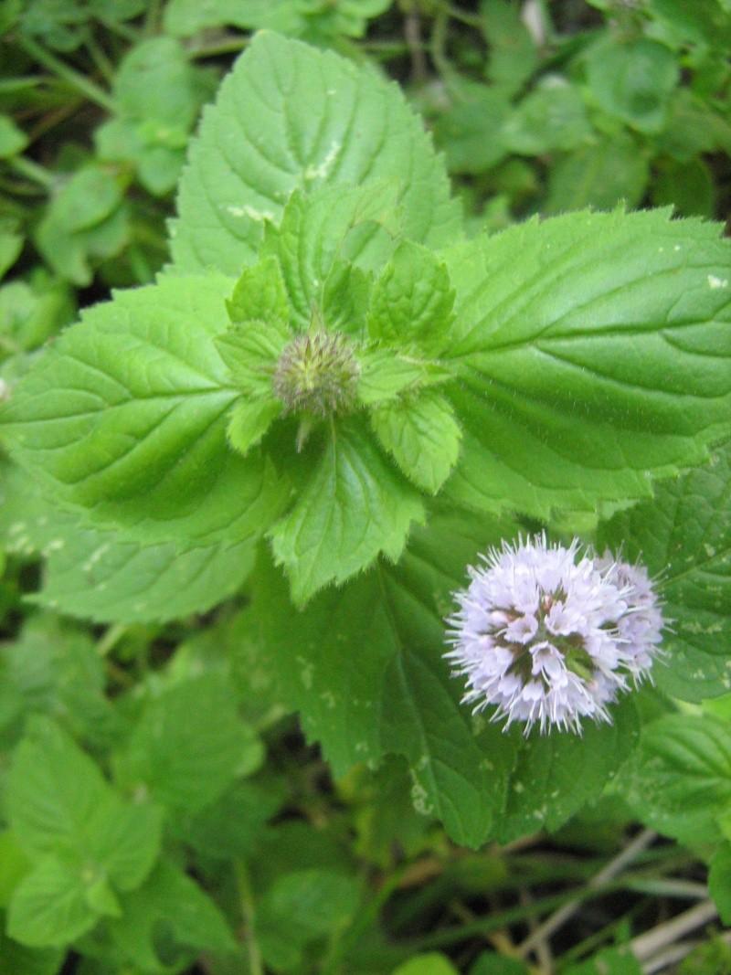 La fleur de cette plante donne envie de la gouter mais ... Img_1925