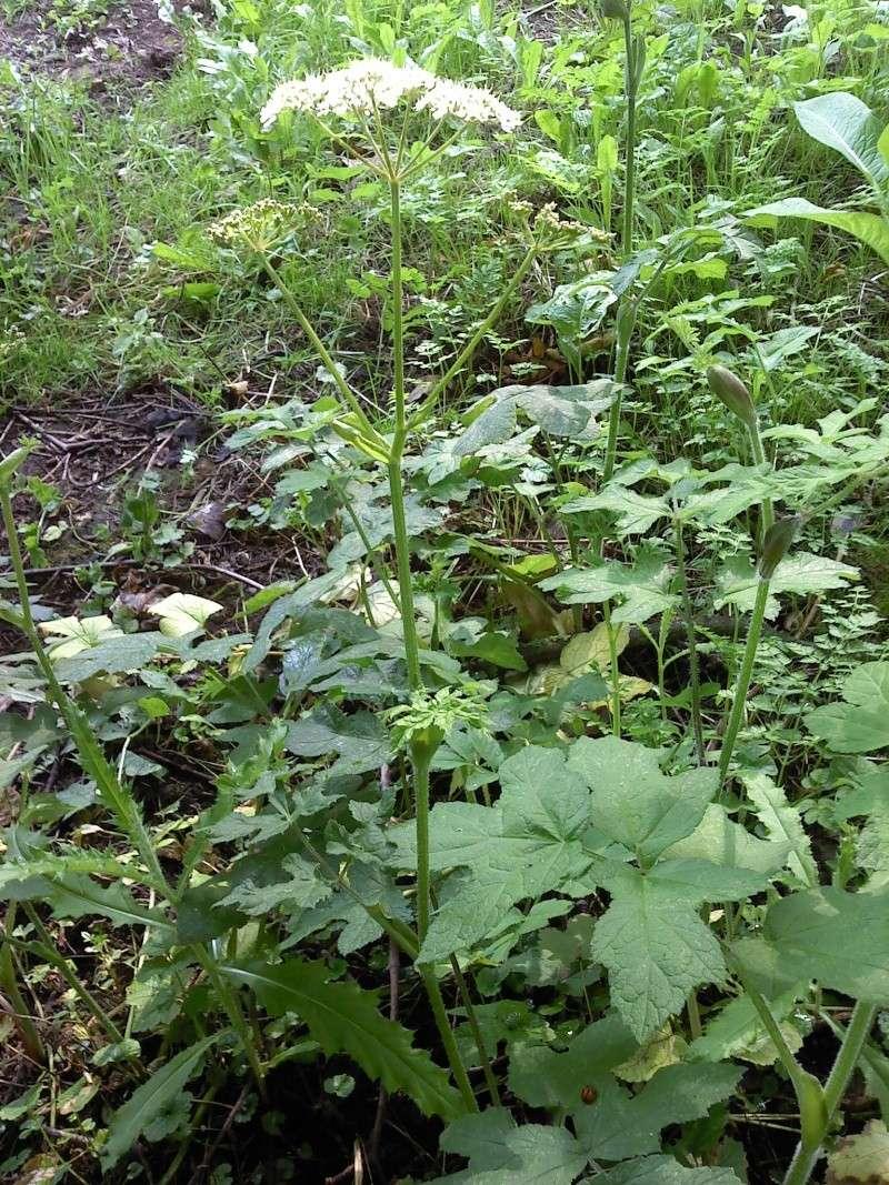 Berce spondyle / Heracleum sphondylium P0308114