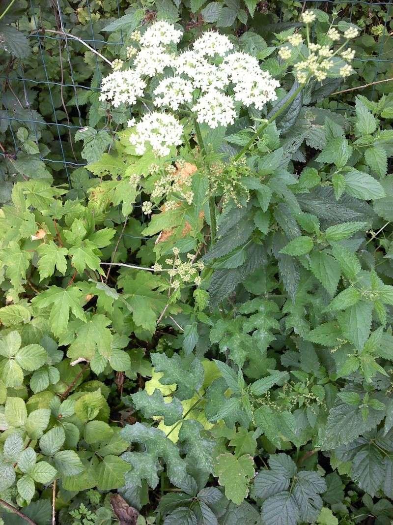 Berce spondyle / Heracleum sphondylium P0308116