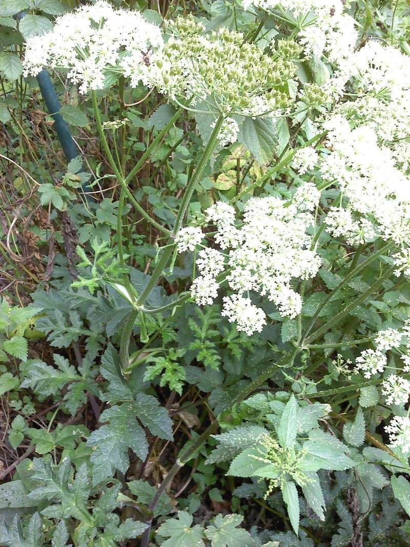 Berce spondyle / Heracleum sphondylium P0308117