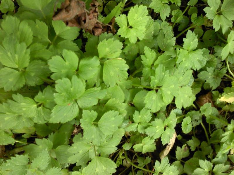 Renoncule rampante / Ranunculus repens P2408111